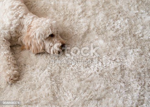 A cockapoo dog lies down on a fluffy rug in the living room.