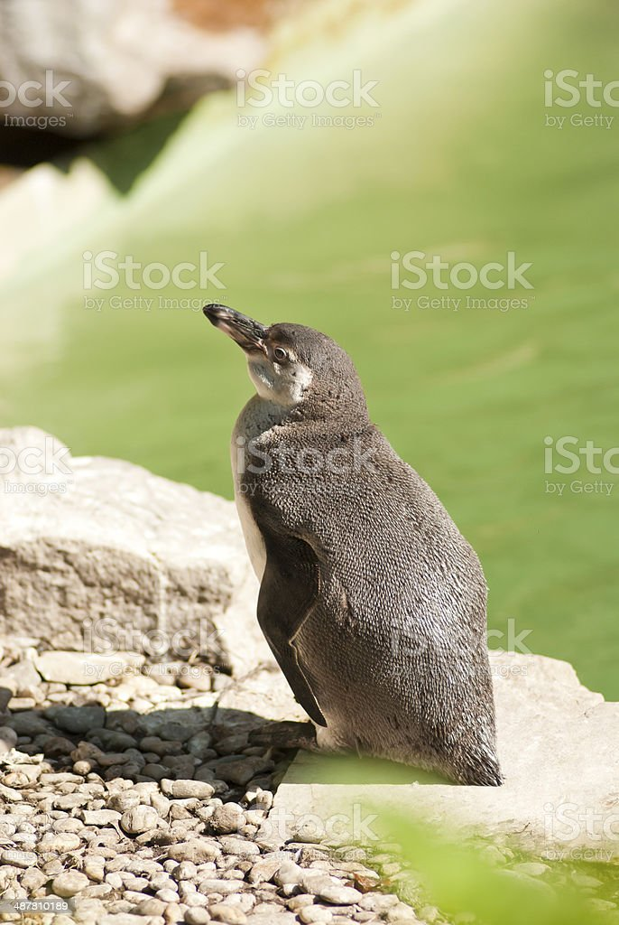 Relaxing Penguin stock photo