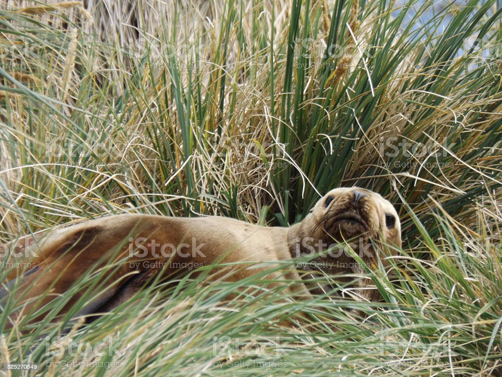 Relaxing seal in grass stock photo