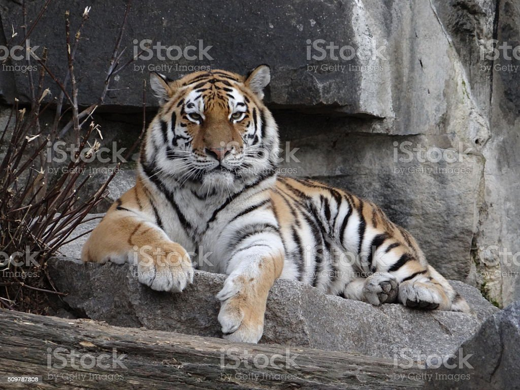 Relaxing tiger stock photo
