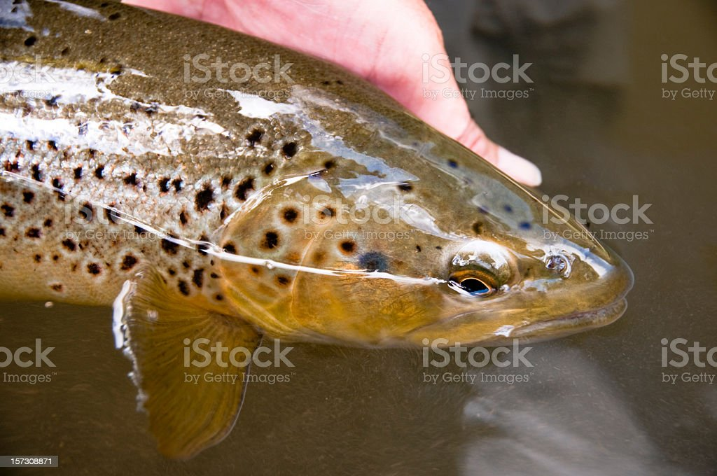 Releasing a Brown Trout stock photo