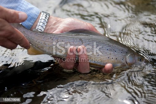 istock Releasing a Grayling 153525646
