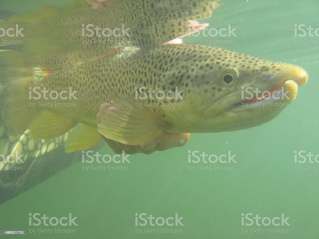 Releasing a large brown trout. royalty-free stock photo