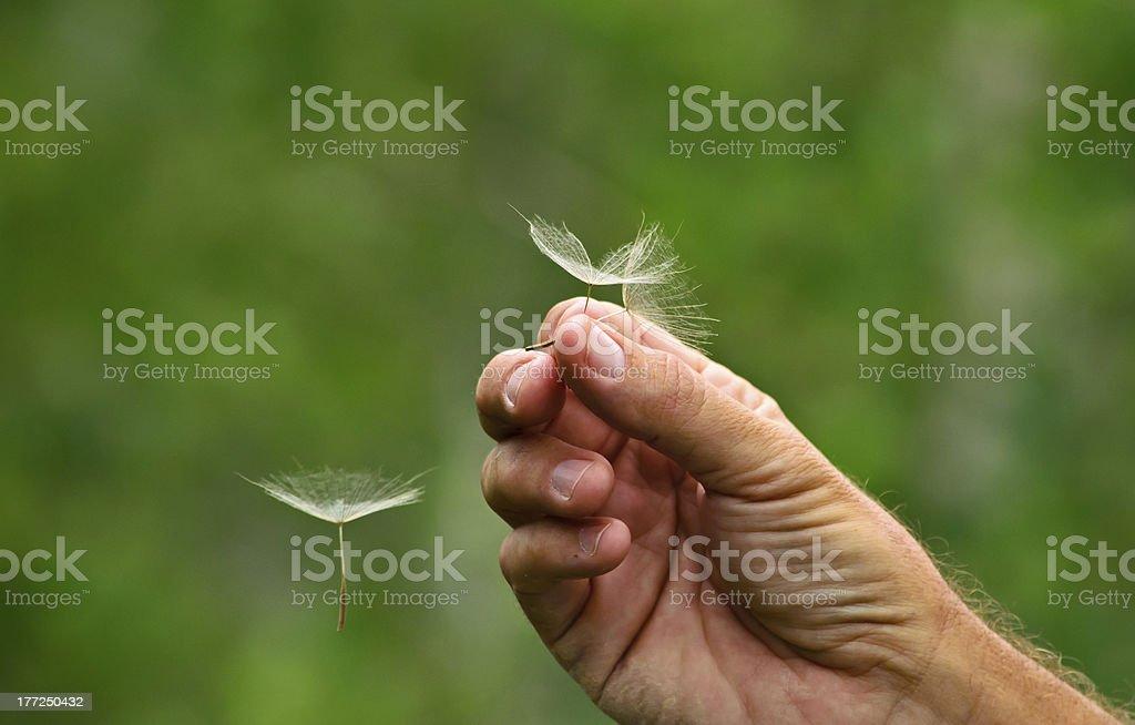 Releasing Dandelion Seeds royalty-free stock photo