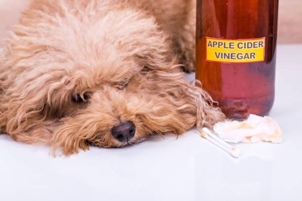 relief hund nach ohren gereinigt mit apfelessig - hundezubehör diy stock-fotos und bilder