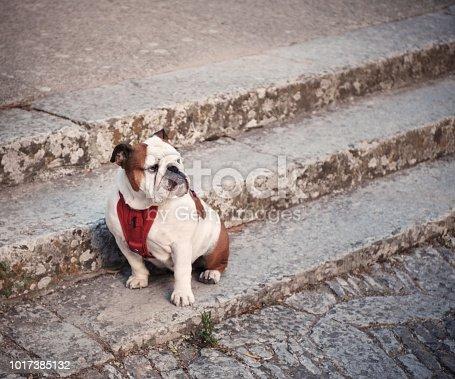 stubborn, reluctant, reticent English Bulldog won't move!