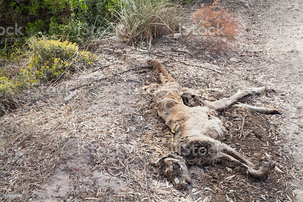 Remains of dead kangaroo by the side of a road stock photo