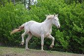 cremello pinto horse walks in farm