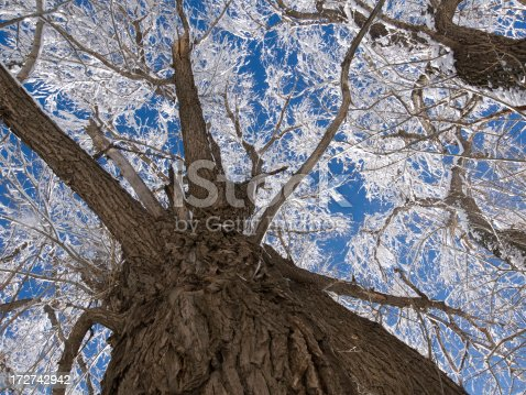 Looking up at an old friend cottonwood tree coverd in snow