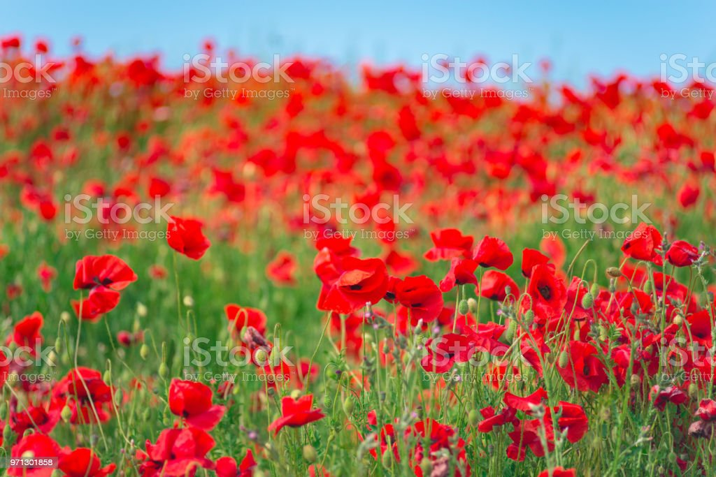 Remembrance Day Anzac Day Serenity Opium Poppy Botanical