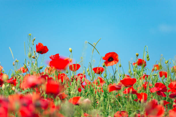 Remembrance day, Anzac Day, serenity. Opium poppy, botanical plant, ecology. Poppy flower field, harvesting. Summer and spring, landscape, poppy seed. Drug and love intoxication, opium, medicinal stock photo
