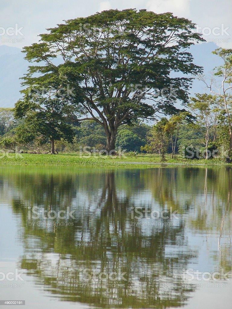 Remnant Ceiba Mahogany Rainforest Tree near La Ceiba Honduras stock photo