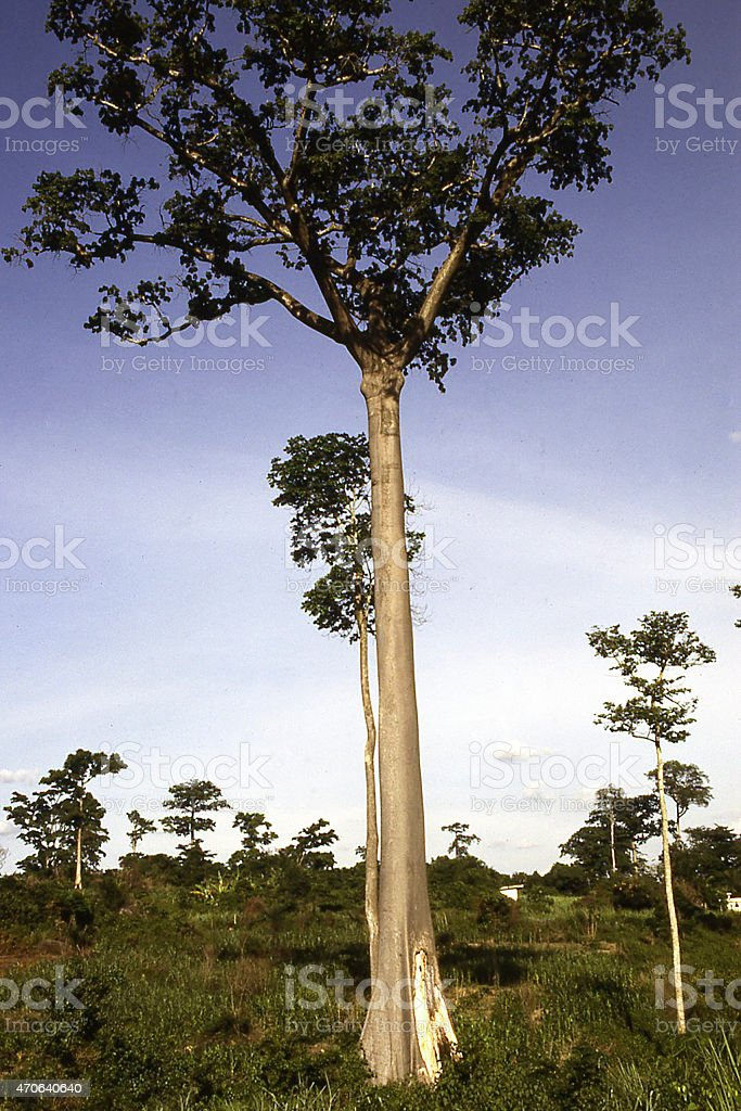 Remnant Rainforest Ceiba Tree southern Ghana West Africa stock photo