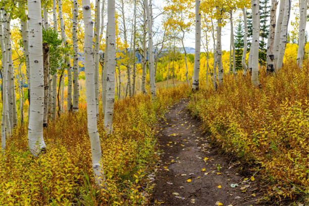 A remote mountain hiking trail winding through an autumn aspen grove in Routt National Forest, near Steamboat Springs, Colorado, USA. Autumn Mountain Hiking Trail routt county stock pictures, royalty-free photos & images