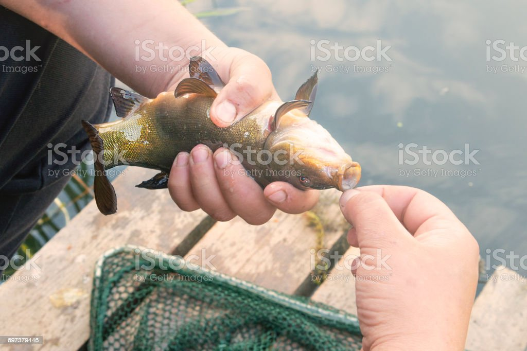 Removal of fish from a hook (tench). stock photo