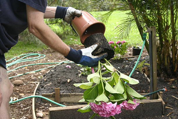 Removing Potted Pink Hydrangea from Plastic Pot stock photo