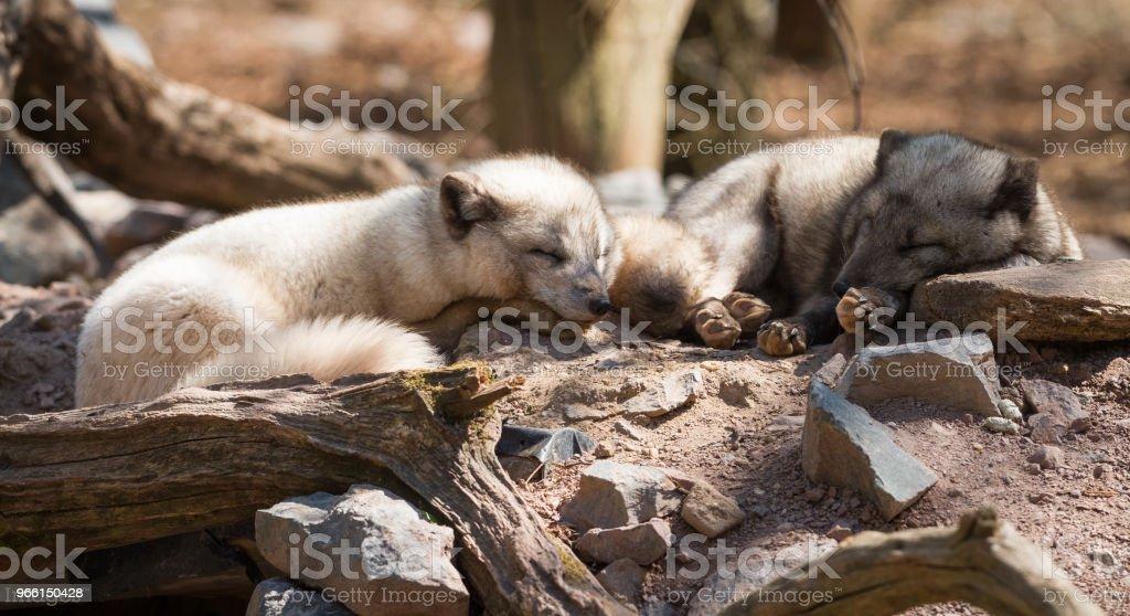 Renard Polaire - Polar fox - Royalty-free Animal Stock Photo