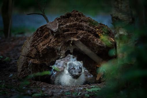 Renard Polaire Polar Fox — стоковые фотографии и другие картинки Арктика