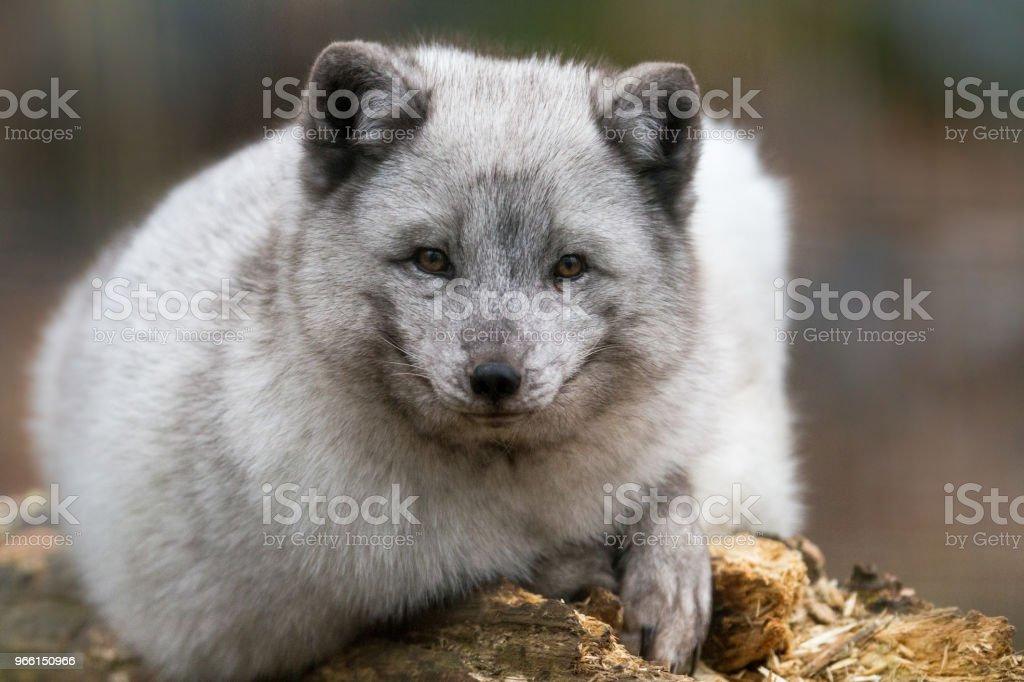 Renard Polaire - Polarfuchs - Lizenzfrei Arktis Stock-Foto