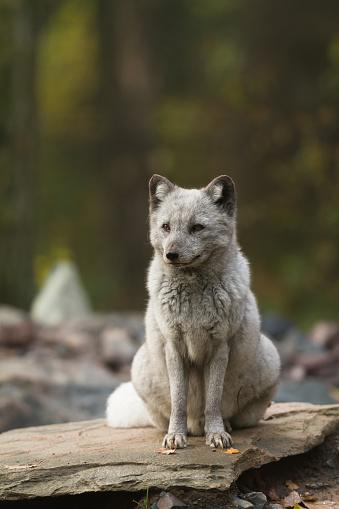 Renard Polaire Polar Fox Stockfoto en meer beelden van Arctis