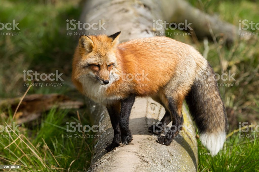 Renard Roux - Red Fox - Royalty-free Bont Stockfoto