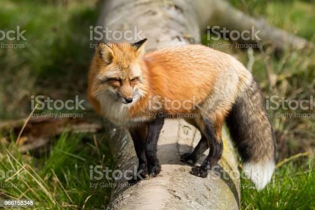 Renard Roux Red Fox - Fotografias de stock e mais imagens de Animais caçando