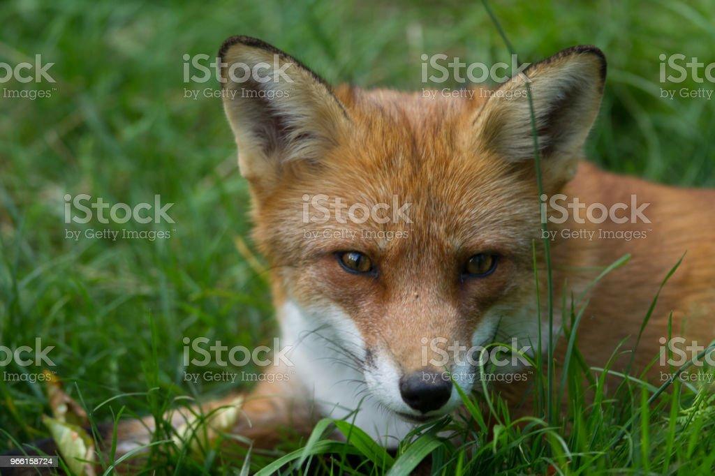 Renard Roux - Red Fox - Royalty-free Animais caçando Foto de stock