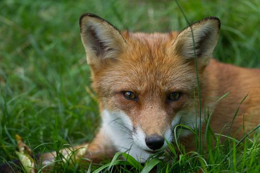 Renard Roux Red Fox Stockfoto en meer beelden van Bont