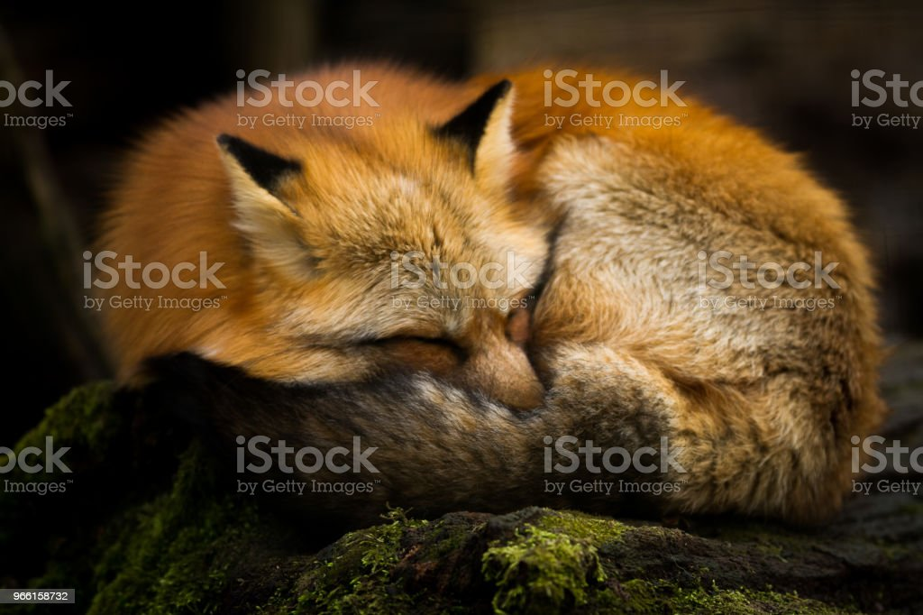 Renard Roux - Red Fox - Royalty-free Animal Stock Photo