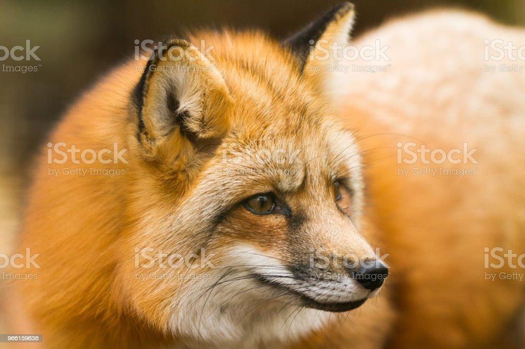 Renard Roux - Red Fox - Royalty-free Animal Stock Photo