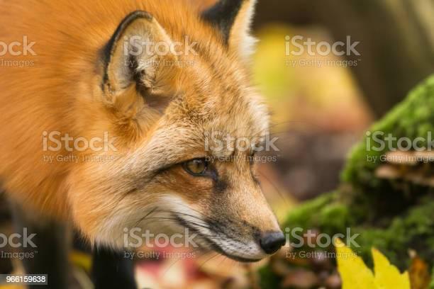 Renard Roux Rödräv-foton och fler bilder på Djur