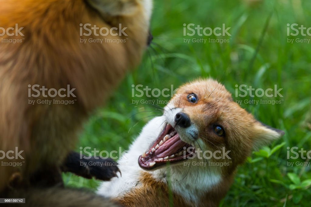 Renard Roux - Red Fox - Royalty-free Animais caçando Foto de stock