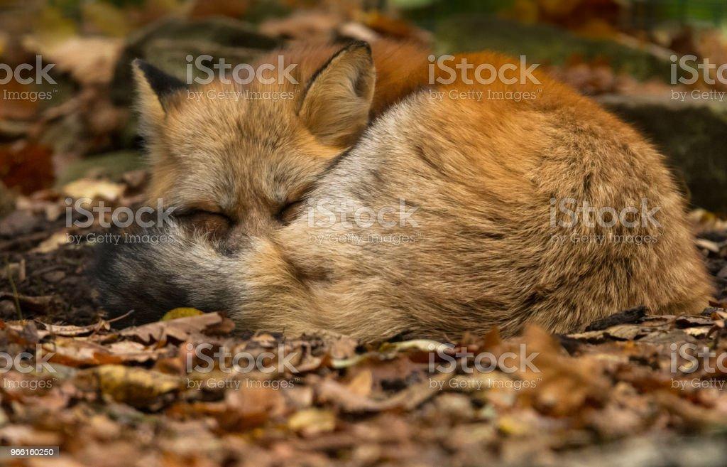Renard Roux - Red Fox - Foto stock royalty-free di Animale