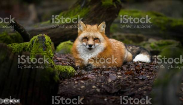 Renard Roux Volpe Rossa - Fotografie stock e altre immagini di Animale