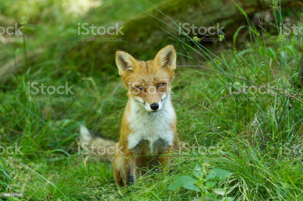 Renard Roux - Red Fox - Стоковые фото Без людей роялти-фри