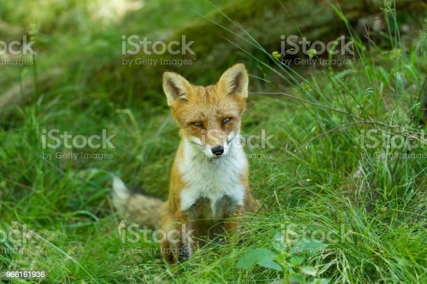 Renard Roux Red Fox — стоковые фотографии и другие картинки Без людей