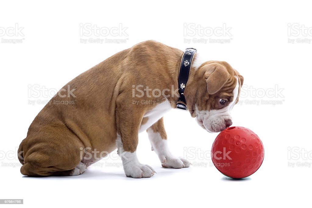 Renascence Bulldog chien - Photo
