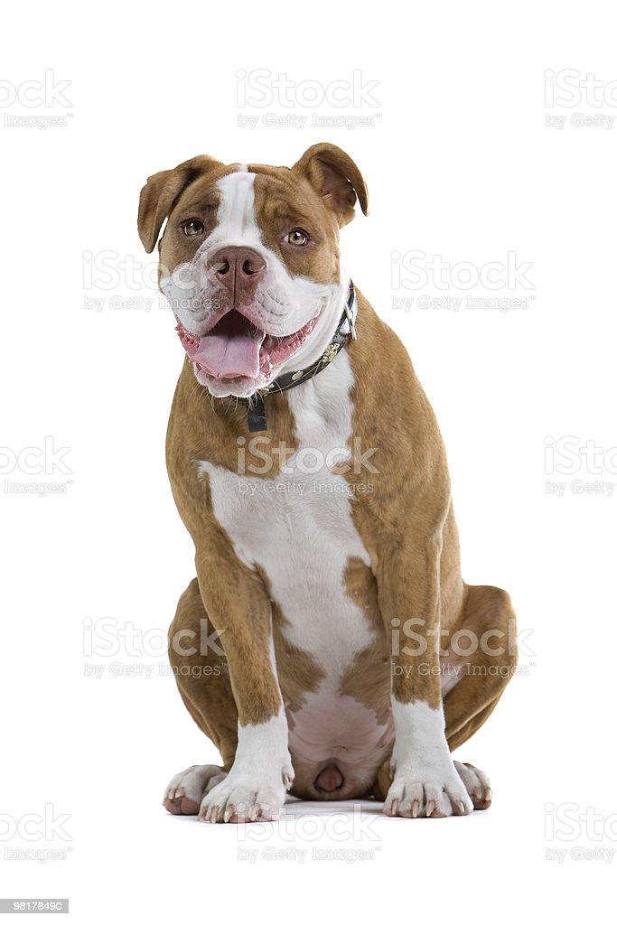 Renascence Bulldog royalty-free stock photo