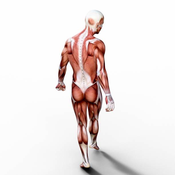 3d rendem retratando a anatomia de um sistema muscular humano. - tronco termo anatômico - fotografias e filmes do acervo