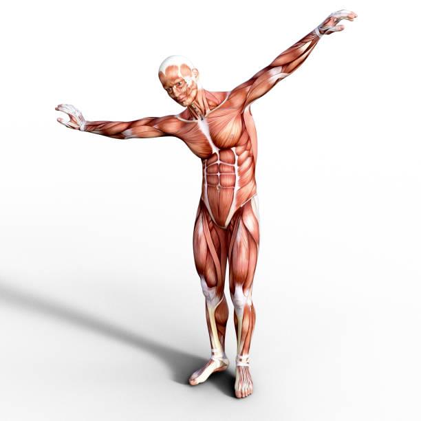 renderizado 3d que representa la anatomía de un sistema muscular humano. - músculo humano fotografías e imágenes de stock