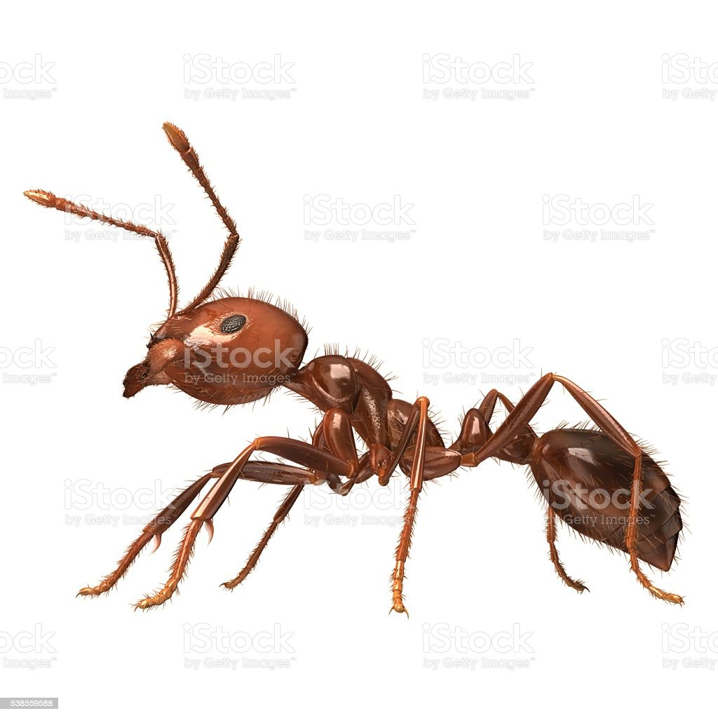 3D Rendered Solenopsis Invicta 'Red Fire Ant' stock photo