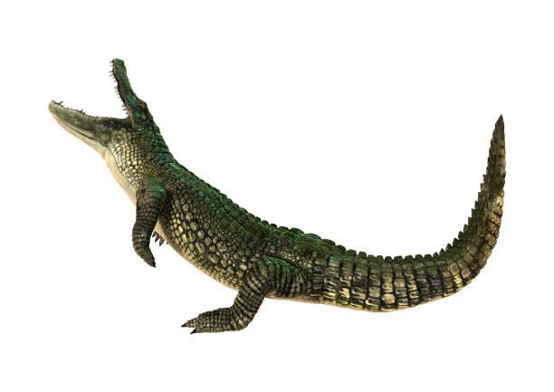 3D Rendering American Alligator on White stock photo
