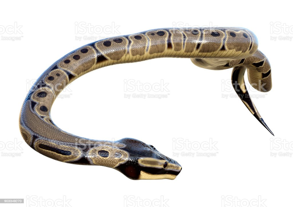 3D rendering Ball python on white stock photo