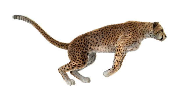 3D rendering big cat cheetah on white stock photo