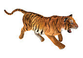 3D digital render of a trotting tiger isolated on white background