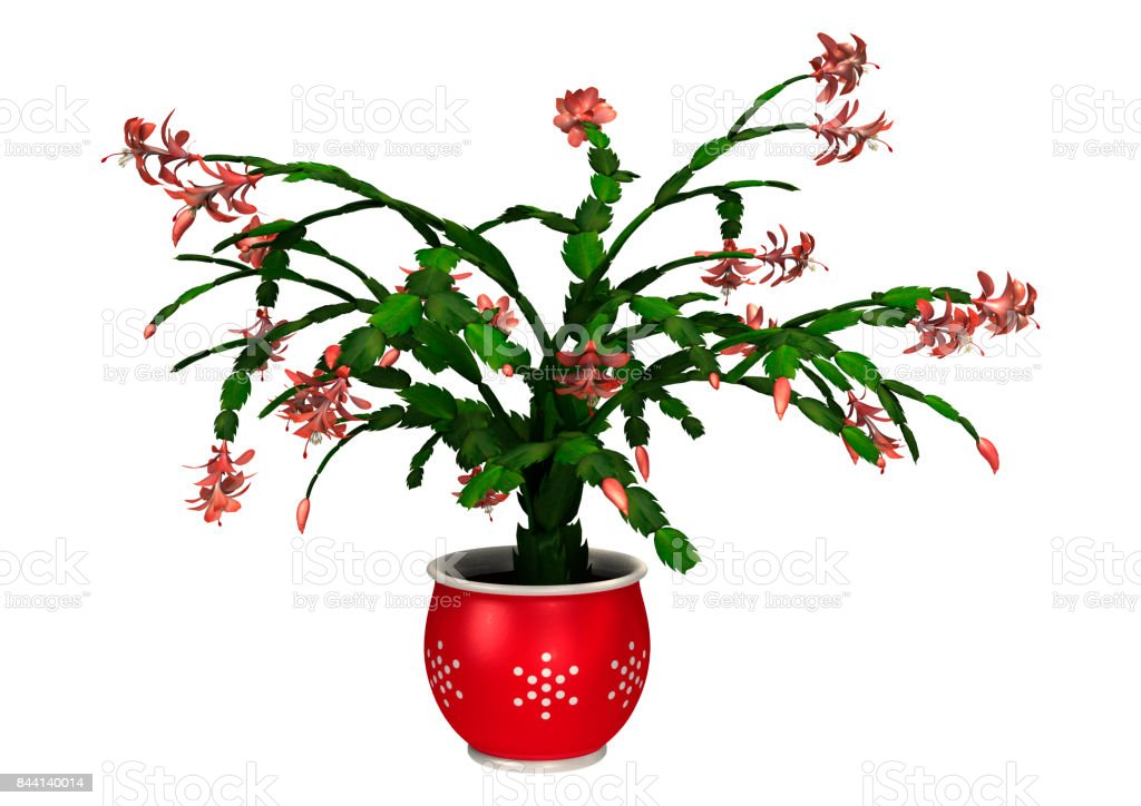 3D Rendering Christmas Cactus on White stock photo