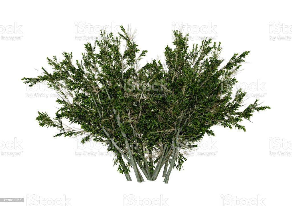 3D Rendering Creosote Bush on White stock photo
