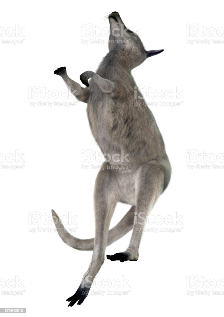 3D rendering Eastern grey kangaroo on white stock photo