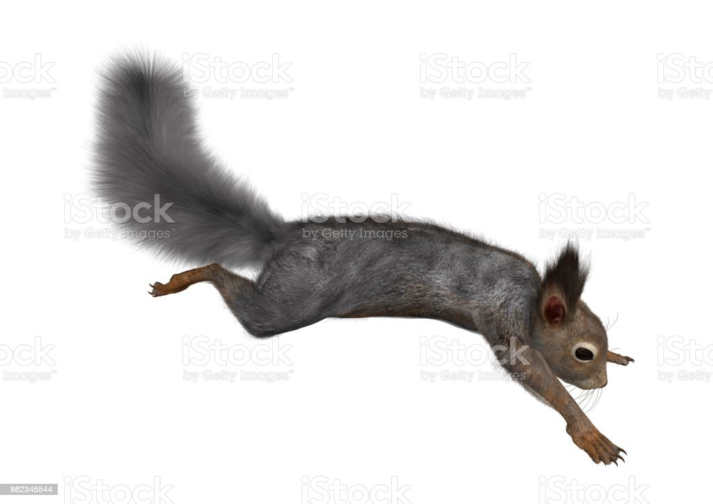 3D rendering Eastern grey squirrel on white stock photo
