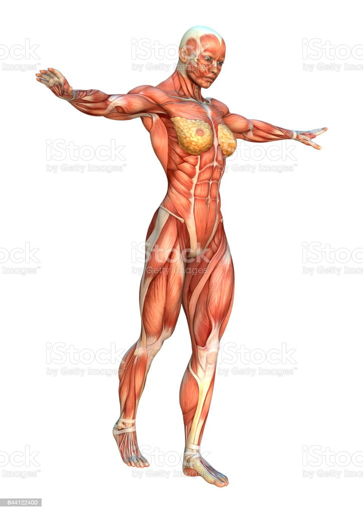 3d Rendering Female Figure With Muscle Maps On White Stock Photo ...
